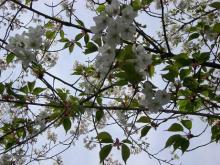 色々な桜2