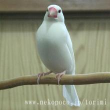 白文鳥の「マツカゼ」