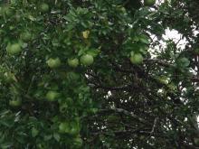 グレープフルーツの実2