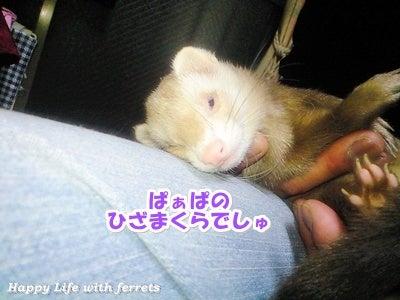 はっぴーらいふ with ferrets-喪中にて⑯