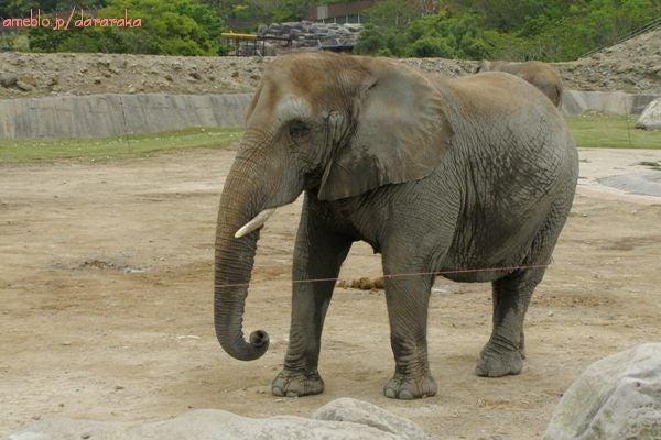 アフリカゾウさん2