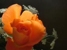 orange_rose2