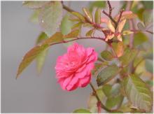 2977薔薇