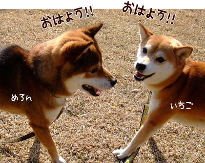 柴犬ひかりといちご のんびり日記-futagotyan