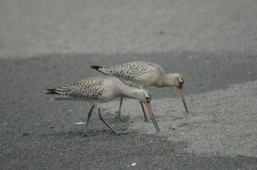 オグロシギ