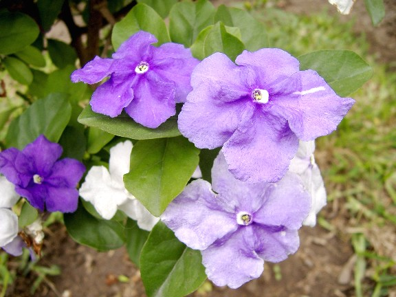 flor de jazmin de paraguay