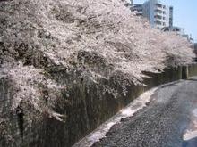 maysakura