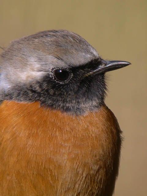野鳥ジョウビタキ