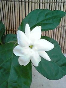 jasmine.2