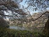 千鳥が渕の桜