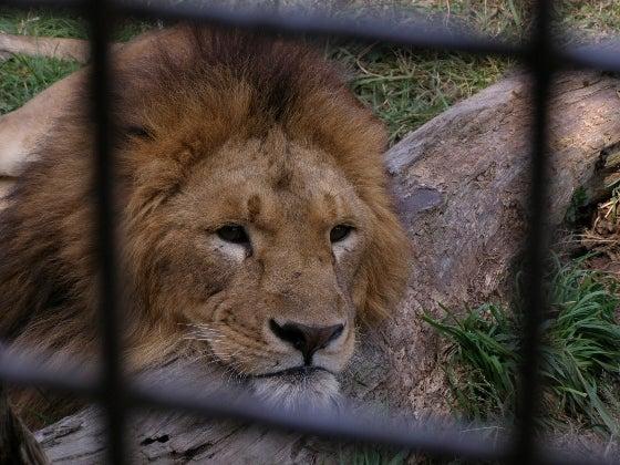 ライオンさん3