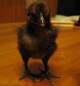 黒烏骨鶏◆チョコ