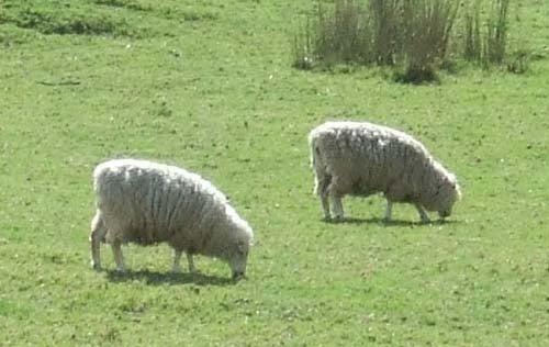 ニュージーランドの羊さん