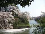 千鳥が渕の桜2