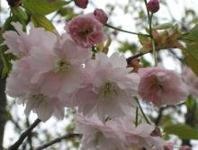 地域を応援する人たちの笑顔-桜2