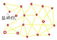 細胞間のつながりが複雑化