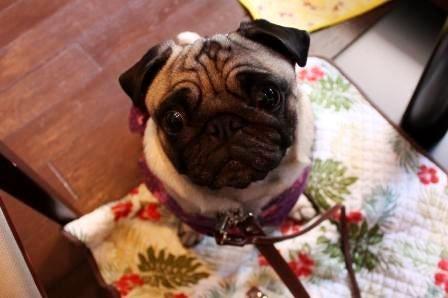毎日がひな祭り!!~パグ犬「ひな」と花のある暮らし~
