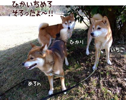 柴犬ひかりといちご のんびり日記-raburi3wan