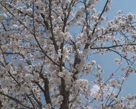 栗の前に桜