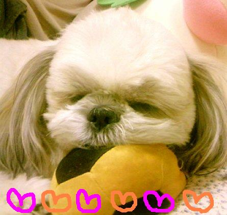 シーズー犬・むっくとモモの日常♪-モモ♪