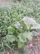 草ボウボウの中のヤーコン