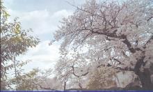 17_桜風景マゼンタ補正