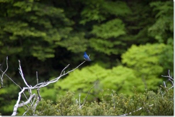 幸せの青い鳥(笑)