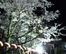 御殿場夜桜