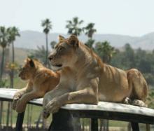 20080420-ライオンお母さん