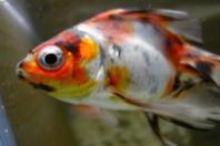 イサクくんちの金魚