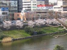 ichigayanosakura