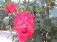 五月の薔薇-1