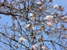 そろそろ駒沢公園の桜も咲き始めてました(^^)v