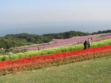 花さじきコスモスとサルビア