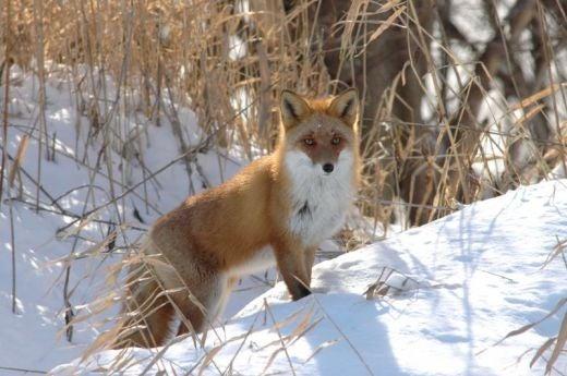 北海道の野生動植物写真-キタキツネ