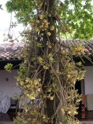 ホウガンボク大木