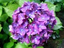 明月院-紫