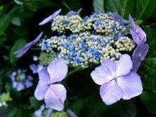 明月院-薄紫Ⅱ