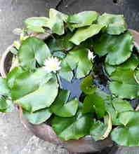 Lotus_in_thailand