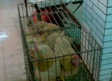 鶏(広州の市場にて)