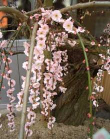 月ヶ瀬天然記念物梅
