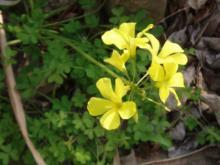 黄色のオキザリス