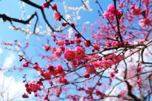 数楽者のボヤキ・ツブヤキ・ササヤキ-中学 数学 道徳 Mathematics Puzzles--北野天満宮の紅梅白梅