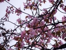 資料館の桜