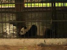 パンダは怠け者なんだって!