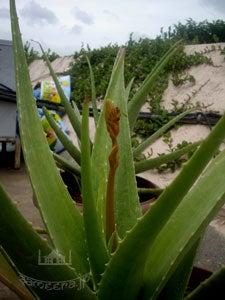 アロエヴェラの花