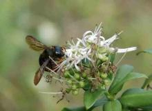 オガサワラクマバチ
