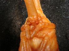 ヘラクレスサナギ