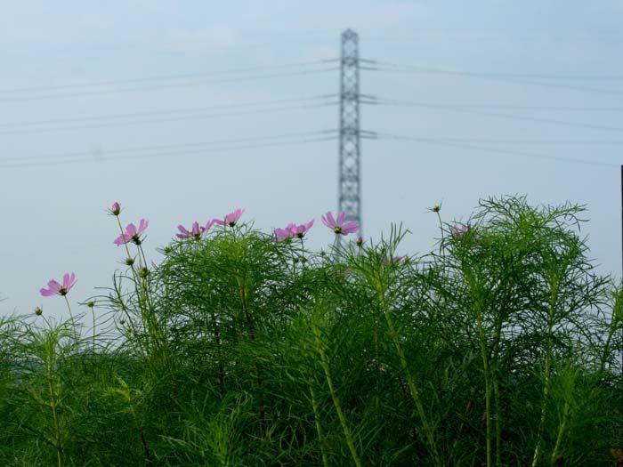 鉄塔と秋桜