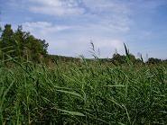 ニダの葦原